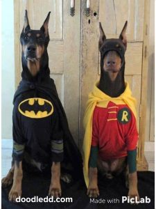 Dobermans dressed as Batman and Robin