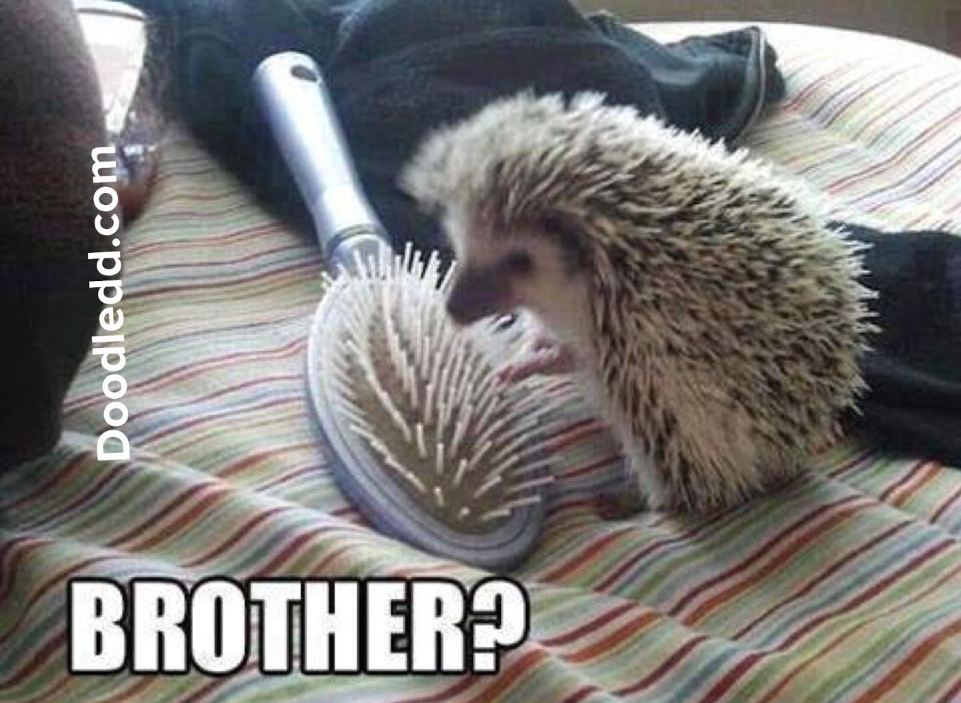 "Hedgehog to a hair brush ""Brother?"""