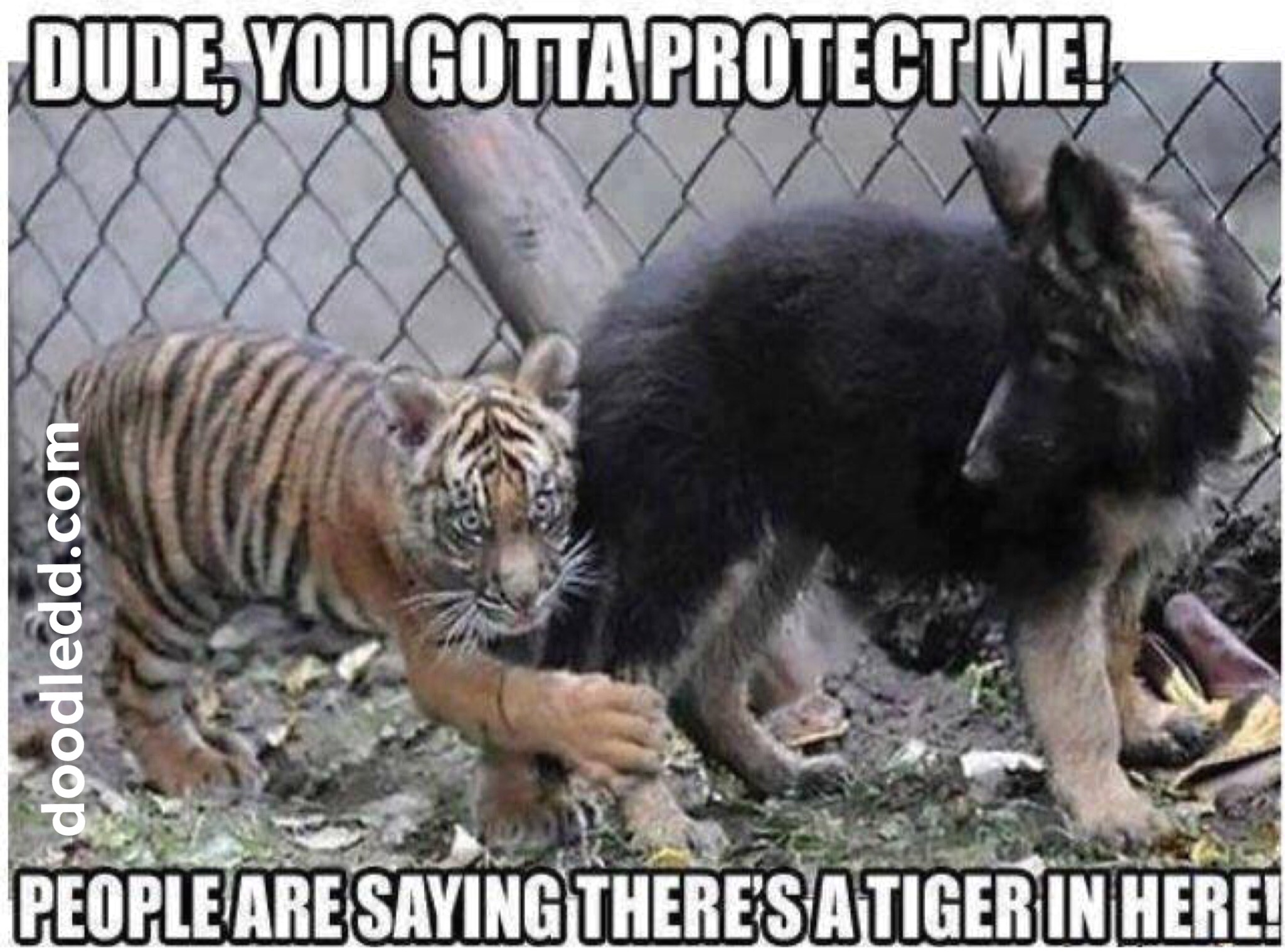 "ScaredTiger to a dog ""Dude, you gotta protect me! People are saying there's a tiger in here!"""